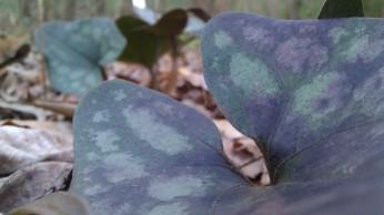 IMAG1668 leaf