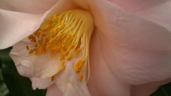 IMAG2738 camellia