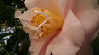 IMAG2740 camellia