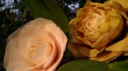 IMAG2744 camellia