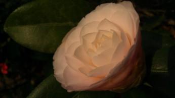 IMAG2747 camellia