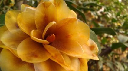 IMAG2752 camellia