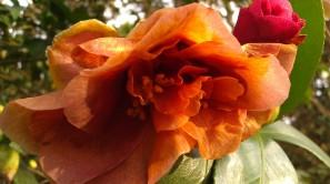 IMAG2760 camellia