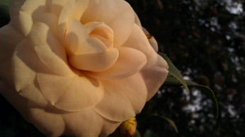 IMAG2767 camellia