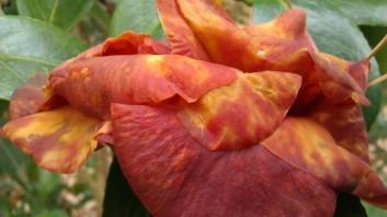 IMAG2786 camellia