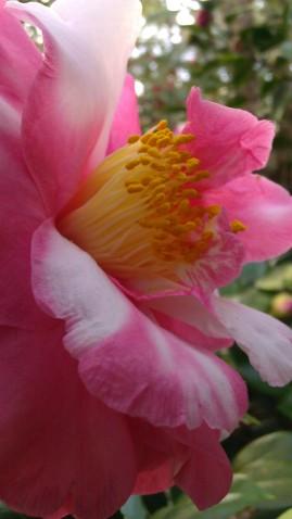 IMAG2795 camellia