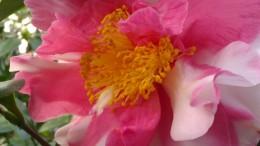 IMAG2797 camellia