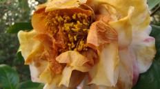 IMAG2800 camellia