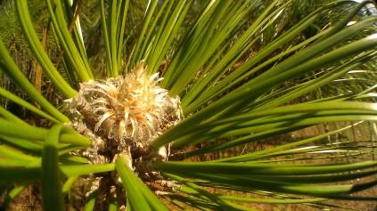 IMAG3436 pine