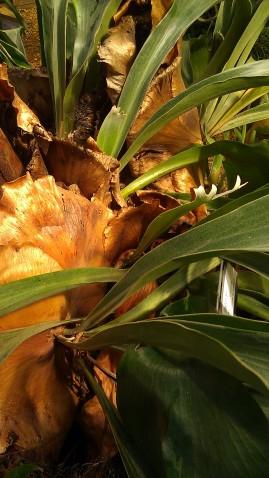 IMAG4118 staghorn fern