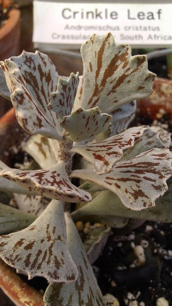Tanya Mikulas, crinkle leaf, IMAG4377 Tuscaloosa arboretum 2012