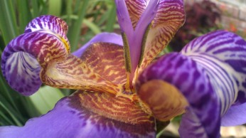 IMAG4404 walking iris