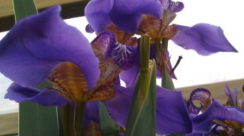 IMAG4443 walking iris