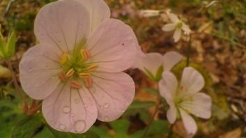 IMAG4751 geranium