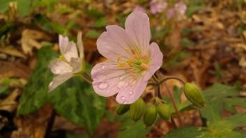 IMAG4755 geranium