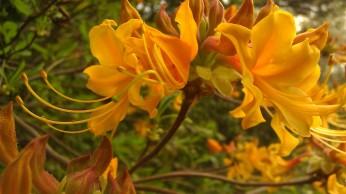 Tanya Mikulas, azalea, arboretum 2012 IMAG5111