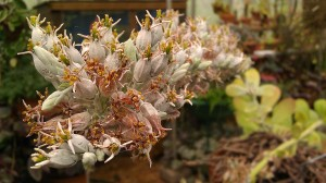 Tanya Mikulas, arboretum 2012 IMAG5301 blooming paddle plant