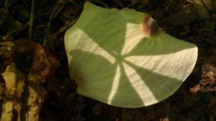 IMAG5515, shadow on a dogwood petal, Tanya Mikulas photographer