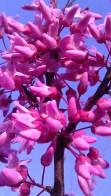 Tanya Mikulas, pink on a blue day, IMAG0046, Tuscaloosa, arboretum 2012