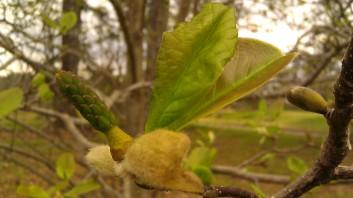 IMAG0153 magnolias