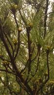 IMAG0641 pines