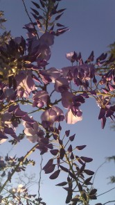 IMAG0818 wisteria