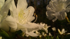 Tanya Mikulas, azaleas, IMAG0854 arboretum 2012