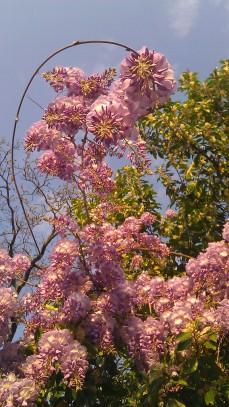 IMAG0936 wisteria