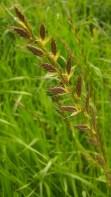 IMAG1587 grain