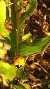 IMAG1897 ladybug