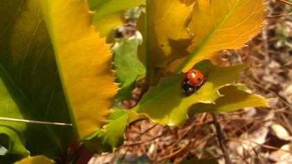 IMAG2102 ladybug