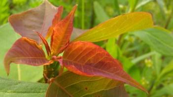 IMAG2396 leaf