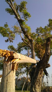 A snapped power pole lodged in a tree. Tanya Mikulas, photographer.
